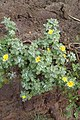 Andryala pinnatifida kz18.jpg