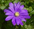 Anemone blanda BW.JPG