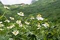 Anemone narcissiflora 09.jpg