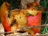Angebissener Apfel als Nahrungsquelle für Wespen und Ameisen.JPG