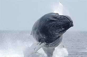 Cetacean surfacing behaviour - Image: Anim 1091 Flickr NOAA Photo Library