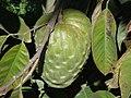 Annona cherimola fruit, Pedra Bela, Brazil.jpg