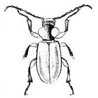Anoploderma bicolor 01.jpg