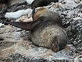 Antarctic Fur Seal at Point Wild, Elephant Island (6019121751).jpg