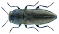 Anthaxia millefolii (Fabricius, 1801) Female.png
