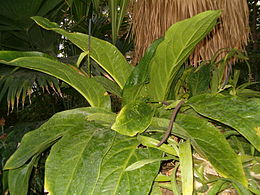 Anthurium hookeri BotGardBln1105PlantWithInflorescences