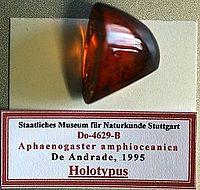 Aphaenogaster amphioceanica SMNSDO4629 03.jpg