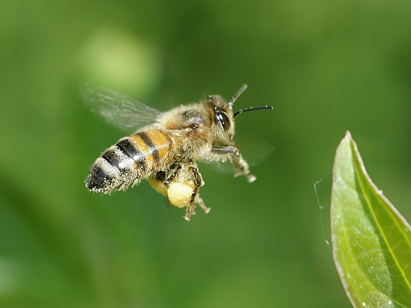 File:Apis mellifera (in flight).jpg