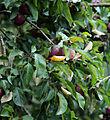 Apple Malus purple crabapple Clavering Essex England 2.jpg