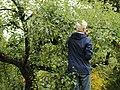 Apple picker Grythengen Toten Norway.jpg