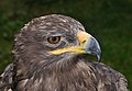 Aquila nipalensis orientalis qtl2.jpg