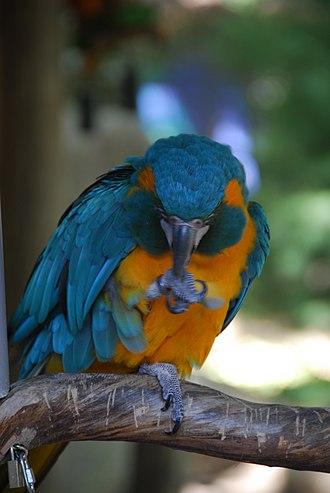 Blue-throated macaw - Image: Ara glaucogularis Southwick Zoo 6a
