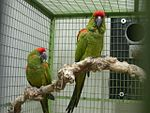 Ara rubrogenys -two captive-8a.jpg