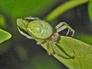 <i>Araniella cucurbitina</i> species of arachnid