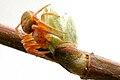 Araniella sp. - lindsey.jpg