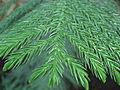 Araucaria heterophylla leaves 02 by Line1.JPG