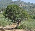 Arbutus unedo 20110818b.jpg