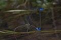 Archibasis oscillans and Pseudagrion indicum-Kadavoor-2016-06-26-002.jpg