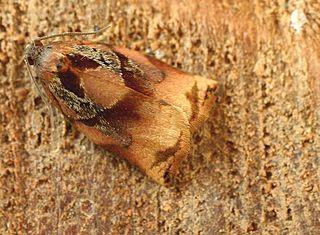 <i>Archips podana</i> Fruit tree tortrix moth