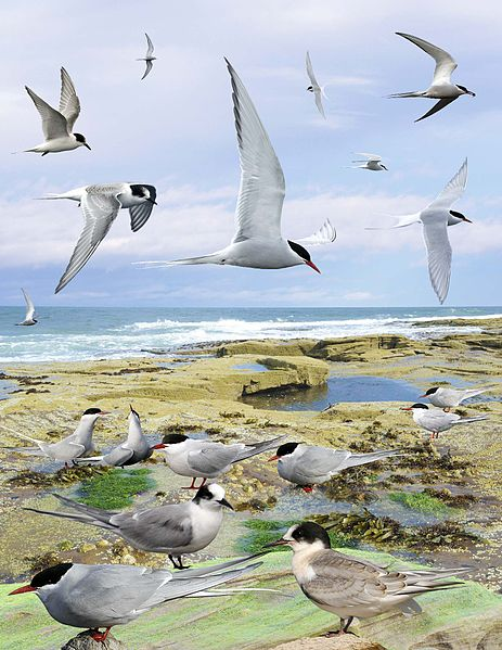 File:Arctic Tern from the Crossley ID Guide Britain and Ireland.jpg