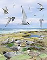 Arctic Tern from the Crossley ID Guide Britain and Ireland.jpg