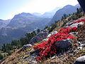 Arctostaphylos alpina autumn.JPG