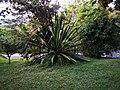 Arecaceae (?) en el Cerro Nutibara.jpg