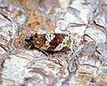 Argyrotaenia ljungiana (40500154010).jpg