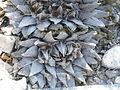 Ariocarpus retusus (5703783280).jpg