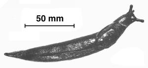 Oopeltidae - Ariopelta capensis