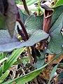 Aristolochia pistolochia FlowersCloseup2 12April2009 DehesaBoyaldePuertollano.jpg