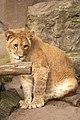 Artis Lion cub Kianga (6807962226).jpg