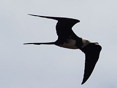 Ascension Frigatebird.jpg