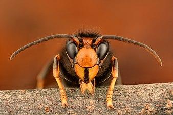 Asian hornet (33252984804) (2).jpg