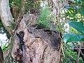 Asparagus aethiopicus 'Sprengeri' L. (AM AK296659-1).jpg