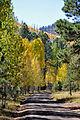 Aspen trees line FR418 (3971478005).jpg