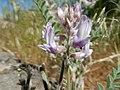 Astragalus andersonii (34535774473).jpg