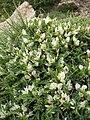 Astragalus angustifolius.jpg