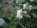 Atalantia monophylla-1.JPG
