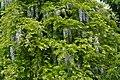 Atlas roslin pl Glicynia japońska 2576 8230.jpg