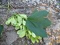 Auró Acer pseudoplatanus samaras 2.JPG