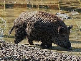 Ausgewachsenes Wildschwein beim Suhlen.JPG
