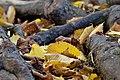 Autumn Leaf (178749765).jpeg