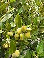 Avicennia resinifera Coromandel 2005 fruits.JPG