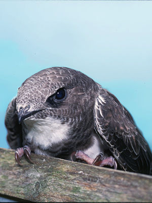 Alpine Swift (Tachymarptis melba)