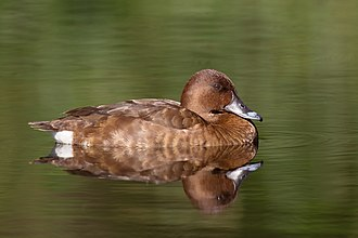 Diving duck - Female A. australis, the only Australian representative of Aythyinae