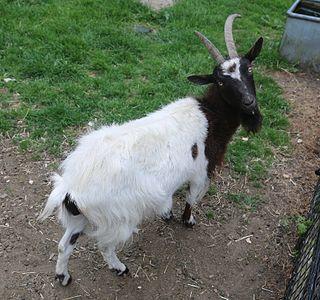 Bagot goat Rare breed of goat originating at Blithfield Hall, Staffordshire, England