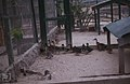 Bahama wood duck and pintail Breeding Nassau (38870074211).jpg