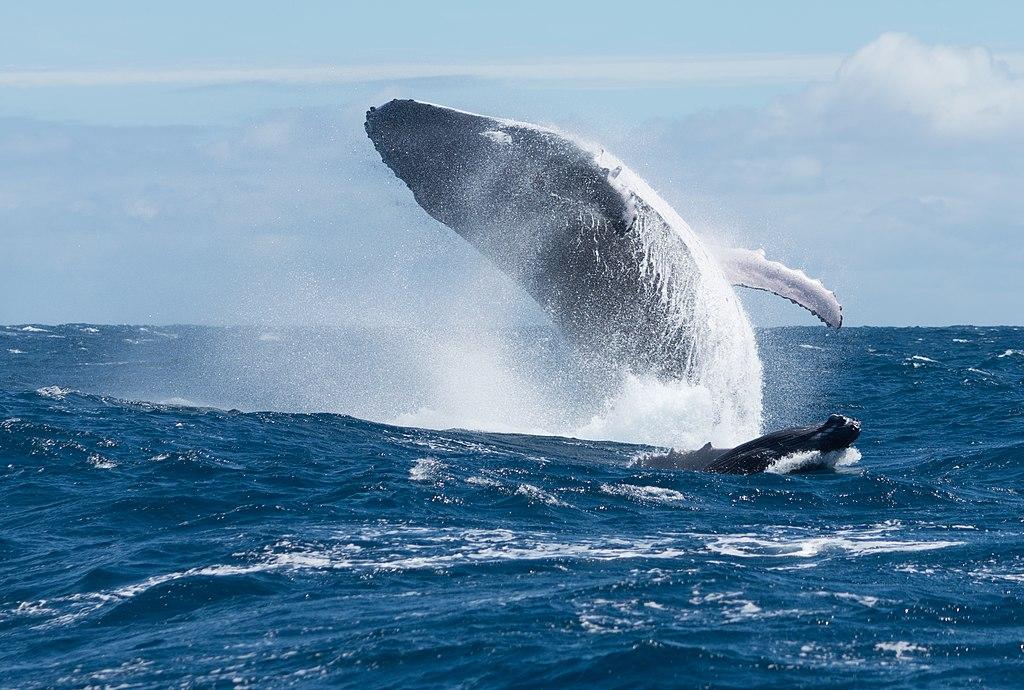 Baleine à bosse et son baleineau 2.jpg