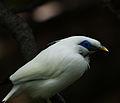 Bali Starling (4239006304).jpg